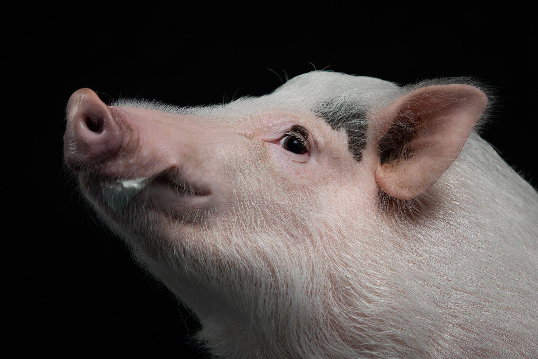 Ein Schwein wurde seitlich fotografiert, vor einem schwarzen Hintergrund